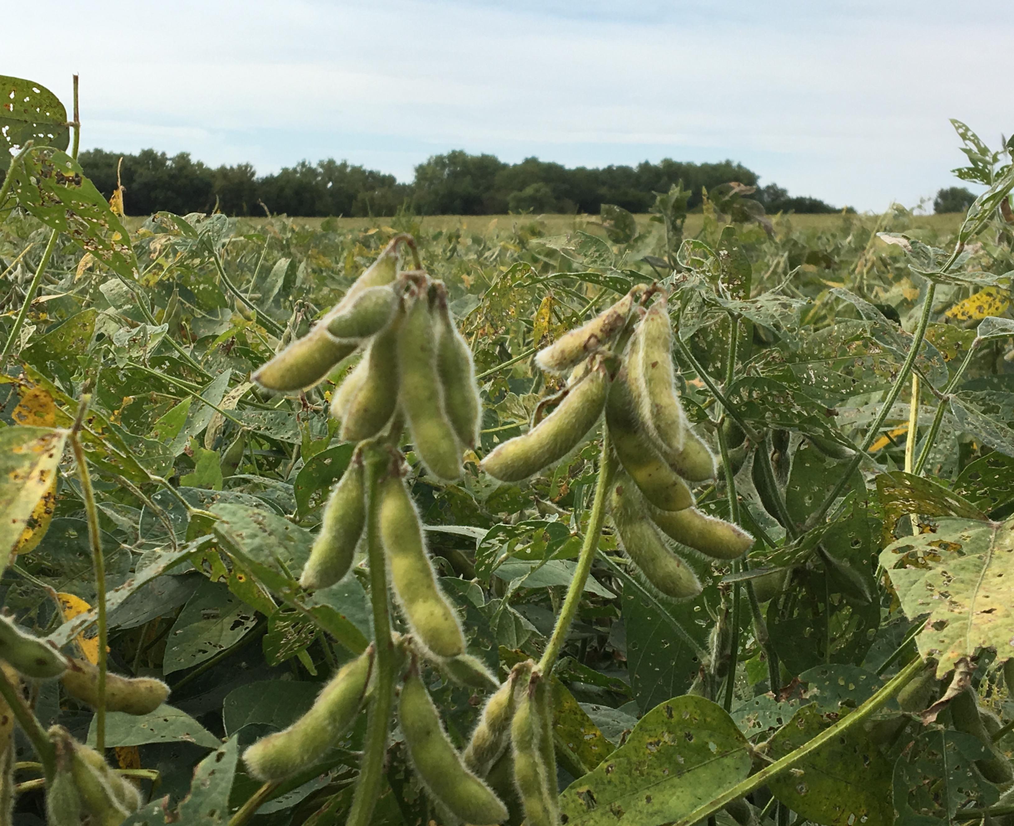 O cale mai ieftină pentru protecția soia împotriva NQS