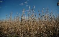 A soybean field at harvest.