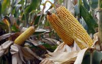 Corn ear husks pulled back.