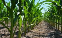 A row of corn.