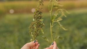 Difference Between Male and Female Waterhemp