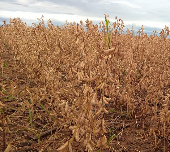 Brazil's southern soybean crop seen at 8-year low, crop tour reports