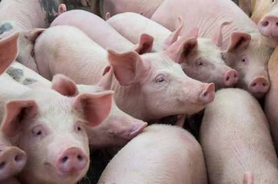 Hog farms in coronavirus crisis need more aid, say producers
