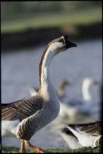 Choosing a Backyard Goose Breed   Successful Farming
